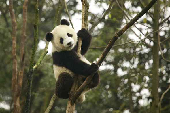 Chengdu is home to China's giant panda as well as 14 million residents (Photo: Martha de Jong-Lantin)