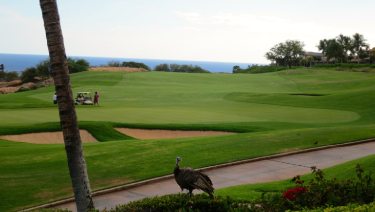 Wild turkeys roam freely on golf courses & elsewhere on Lanai. This is a view from the recently revamped Views restaurant (Chris McGinnis)