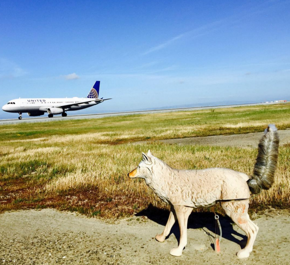 Fake coyotes keep birds off runways at SFO: Chris's most popular Instagram from last week. CLICK on pic to see all photos & follow